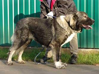 Кавказкая овчарка - Русский Риск Госпожа - 1 год 4 месяца.