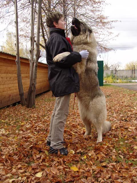 اقوى انواع الكلاب ( القوقازى قاتل الذئاب)  Foto20b